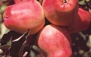 Подробное описание сорта яблок Кандиль орловский