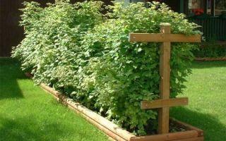Как выращивать малину на даче?