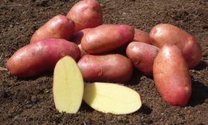 Подробное описание и характеристики картофеля сорта ред фэнтези