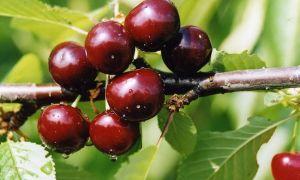 Подробное описание сорта вишни Чудо-вишня