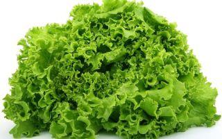 Описание и полезные свойства растения салат листовой