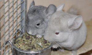 Чем кормить шиншилл в домашних условиях вкусно, полезно и разнообразно?