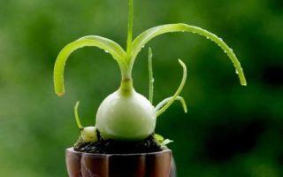 Лечебные свойства и противопоказания китайского лука