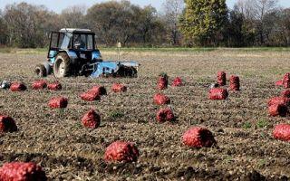 8 лучших сортов картофеля в Белоруссии