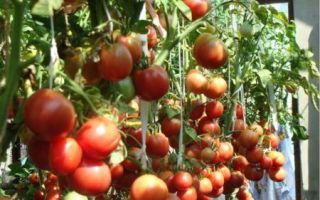 Характеристика и описание раннеспелого сорта томата москвич