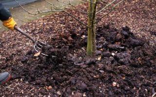 Как правильно посадить саженцы вишни осенью?