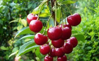 Подробное описание сорта вишни Молодежная