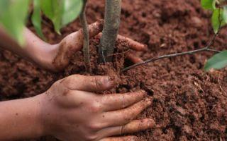 Как правильно посадить сливу осенью?