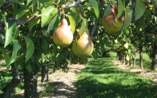 Как правильно посадить и пересадить грушу осенью