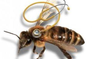 Признаки и лечение опасных болезней пчёл