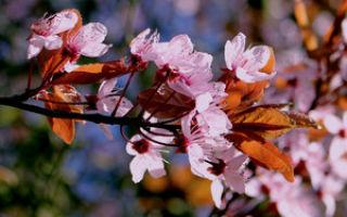 Особенности японской вишни сакуры