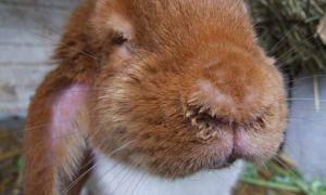 Три вида ринита у кроликов: лечение и профилактика