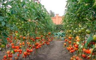 Посадка и выращивание помидоров по методу И.М. Маслова