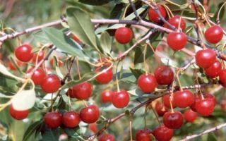 Описание кустовых степных сортов вишни