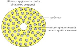Особенности строения шляпочного гриба