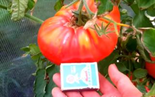 Характеристика и описание томатов Микадо