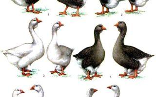 15 пород гусей для разведения в домашних условиях