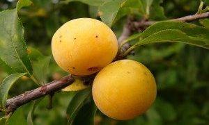 Белая, медовая и другие сорта желтой сливы