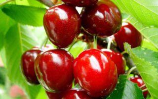 Подробное описание сорта вишни Тургеневка