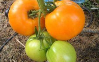 Полное описание и характеристики сорта томата Медовый спас