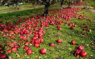 Почему яблоки опадают раньше времени и что с ними делать?