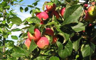 Подробное описание сорта яблок Апорт