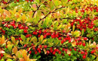 Лечебные свойства корня барбариса