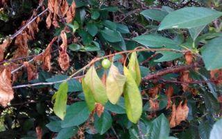 9 популярных болезней вишни и их лечение