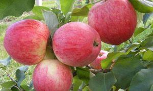 Описание и особенности сортов яблок Анис