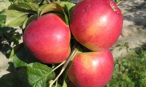 Яблоня медовая — популярный летний сорт